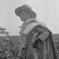 Cotton picking in south Texas. Dorothea Lange, 1936.