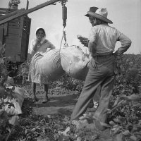 Cotton weighing near Brownsville, Texas. Dorothea Lange, 1936.
