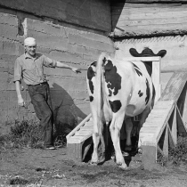 Cow about to be mated, Prince George's County, Maryland. 1936