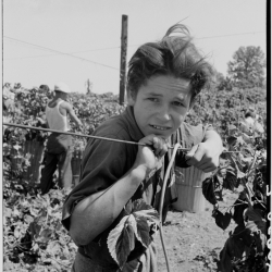 Migratory boy, aged eleven, and his grandmother work side by side picking hops. Started work at five a.m. Photograph made at noon. Temperature 105 degrees. Oregon, Polk County, near Independence. 1939