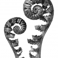 karl-blossfeldt-plant-portraits-aspidium-filixmas-common-male-fern-young-unfurling-fronds-4x-custom