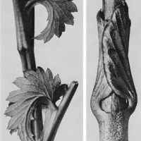karl-blossfeldt-plant-portraits-sanguisorba-canadensis-canadian-great-burnet-stem-with-stipula-8x-b-vincetoxicum-fuscatum-tame-poison-lower-stem-with-young-leaves-15x-custom